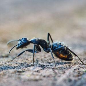 formiche-in-casa-disinfestazione-ddteam
